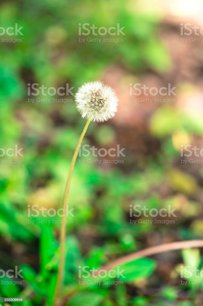 blossoming dandelion stock photo