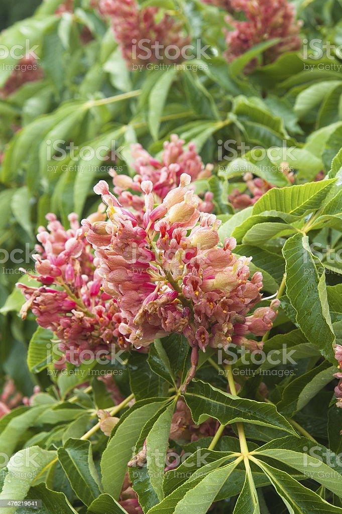 Blossoming decorative bush, close up royalty-free stock photo