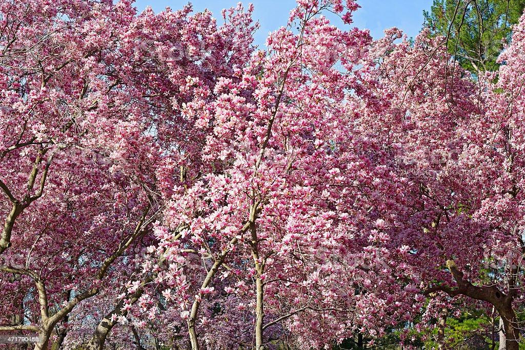 Blossoming dogwood trees near National Mall in Washington DC. stock photo