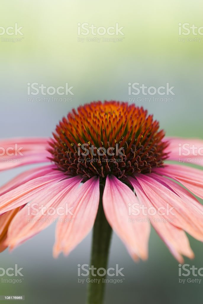Blossoming Echinacea flower royalty-free stock photo