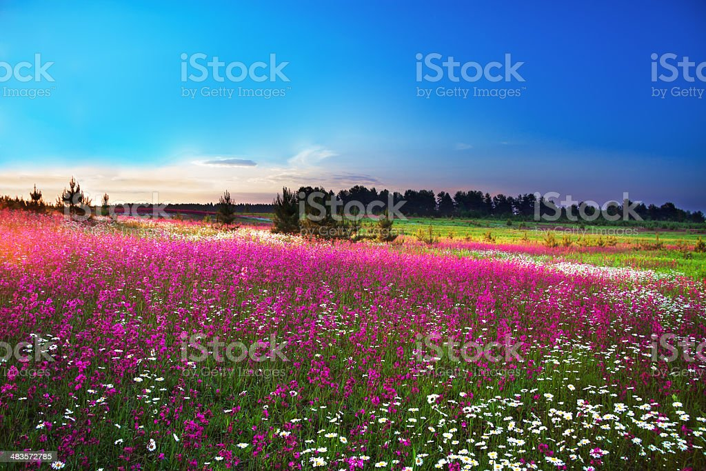blossoming field stock photo
