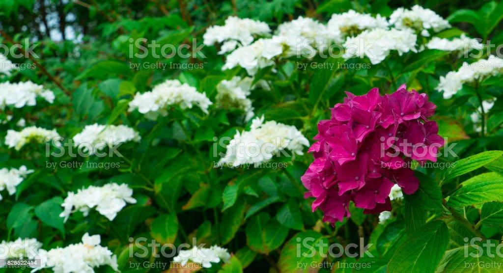 Blossoming flower burgundy hydrangeas in the garden. stock photo