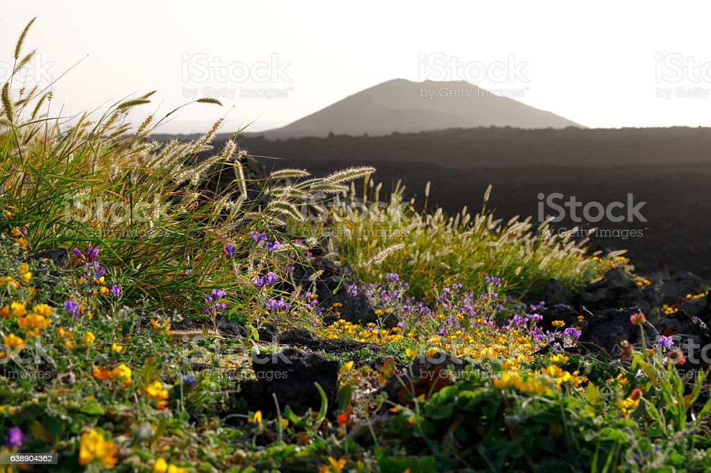 Blossoming flowers at Lanzarote, Spain stock photo