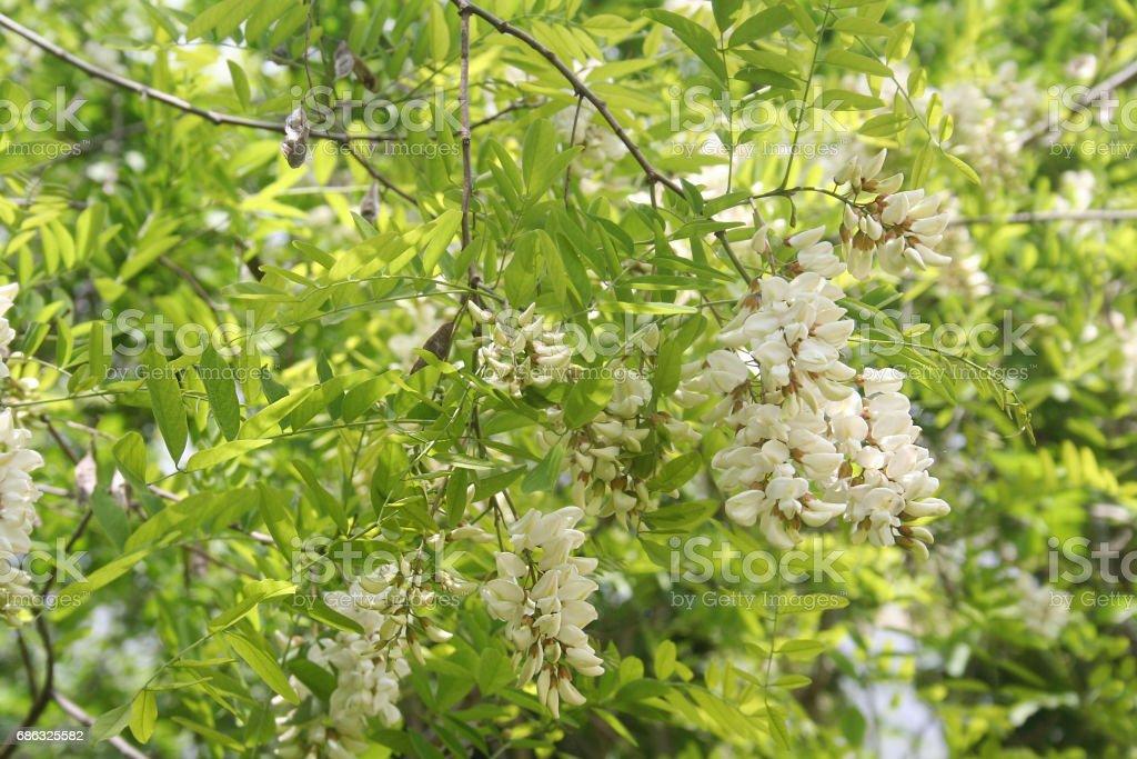Blossoming flowers of black locust (Robinia pseudoacacia) stock photo