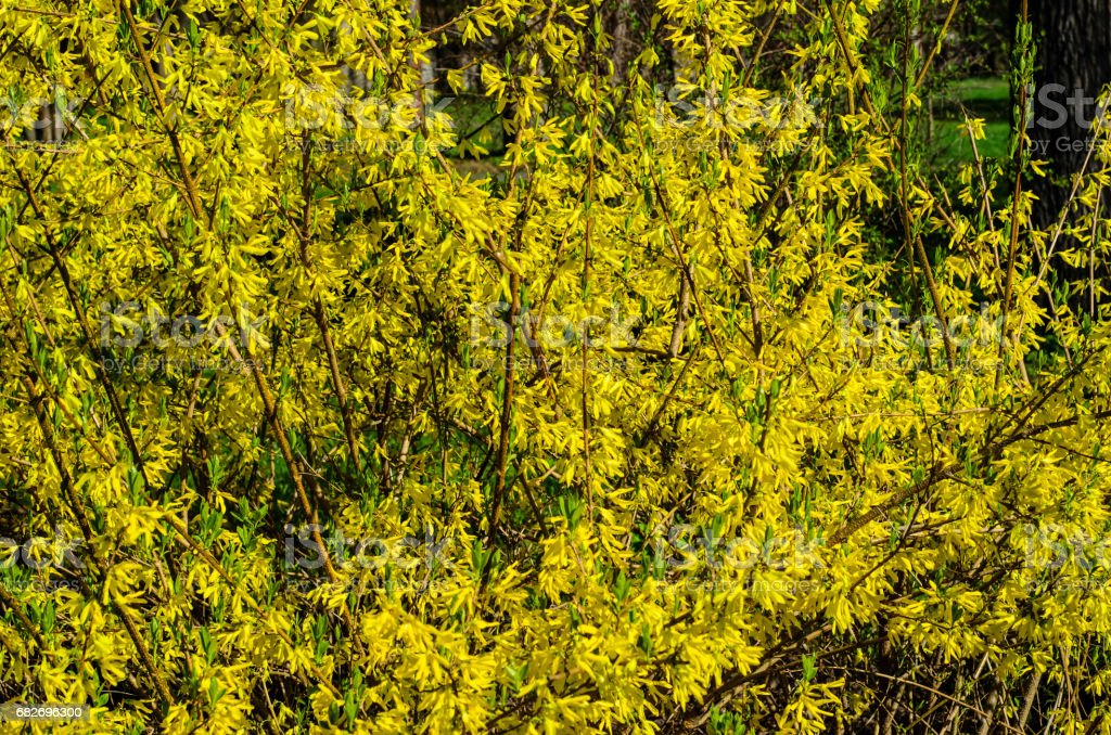Blossoming forsythia plant on early spring. Natural background stock photo