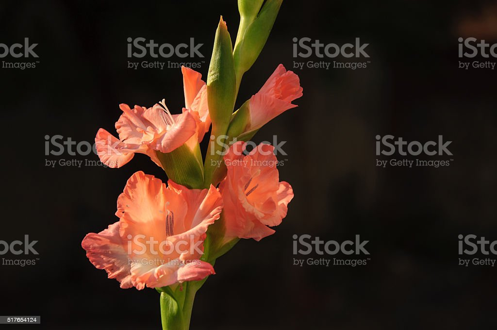 Blossoming gladiolus flowers stock photo