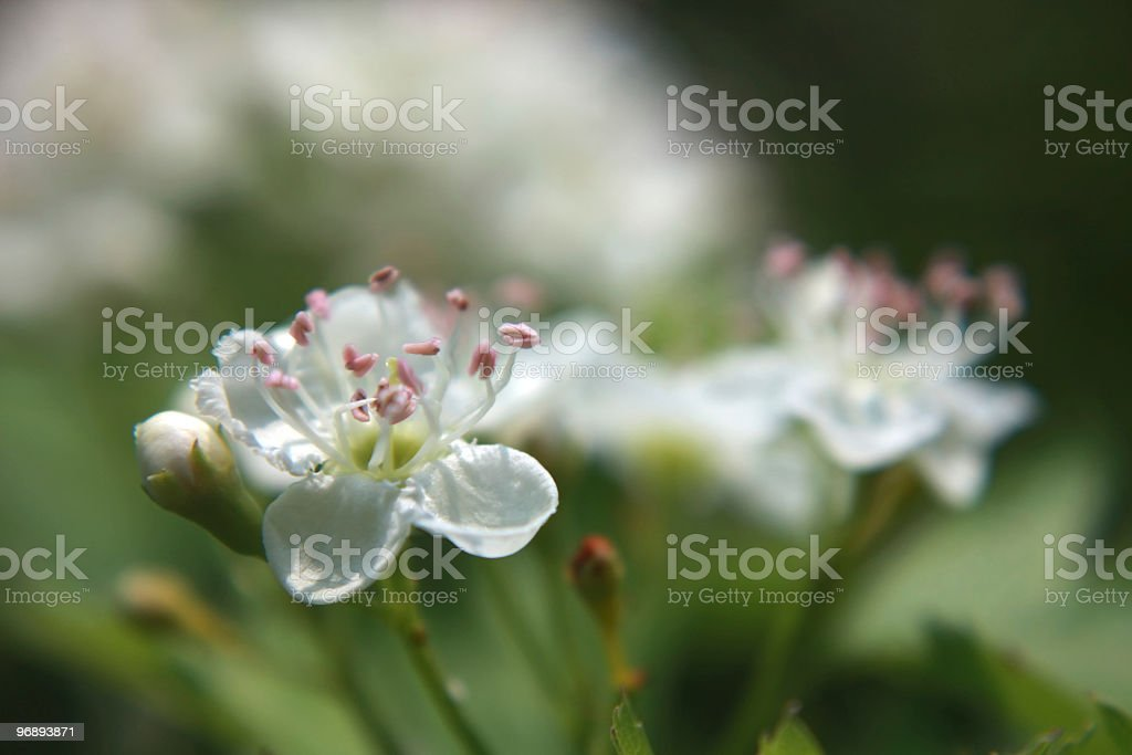 Blossoming hawthorn bush royalty-free stock photo