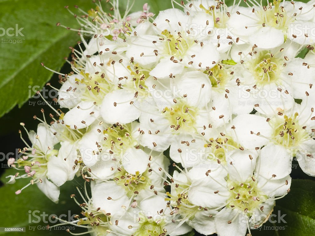Blossoming hawthorn or maythorn, Crataegus, flowers and leaves close-up stock photo