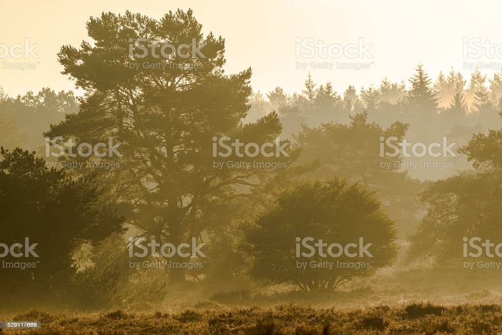 Blossoming Heather plants in a nature reserve during sunrise stock photo