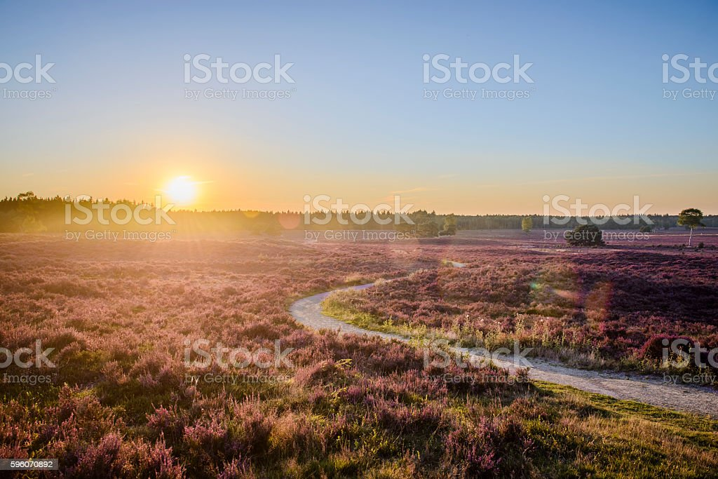 Blossoming Heather plants in a nature reserve during sunset stock photo