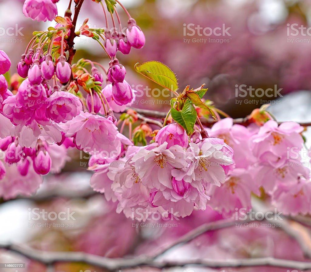 Blossoming Japanese flowering cherry (Sakura) stock photo