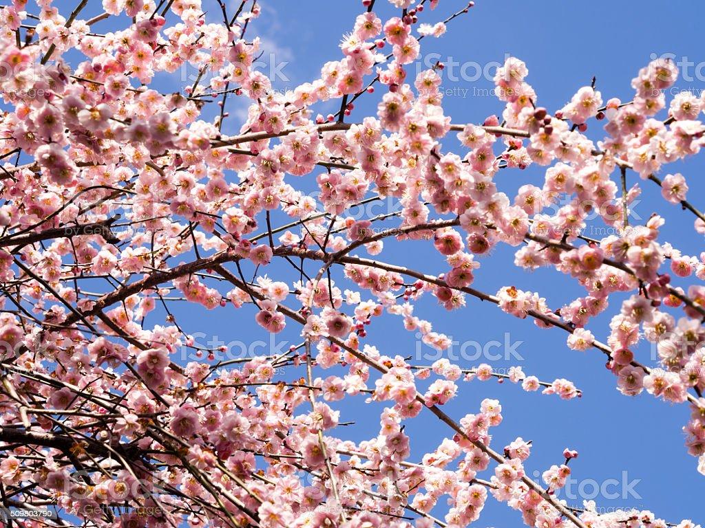 Blossoming Japanese plum tree stock photo