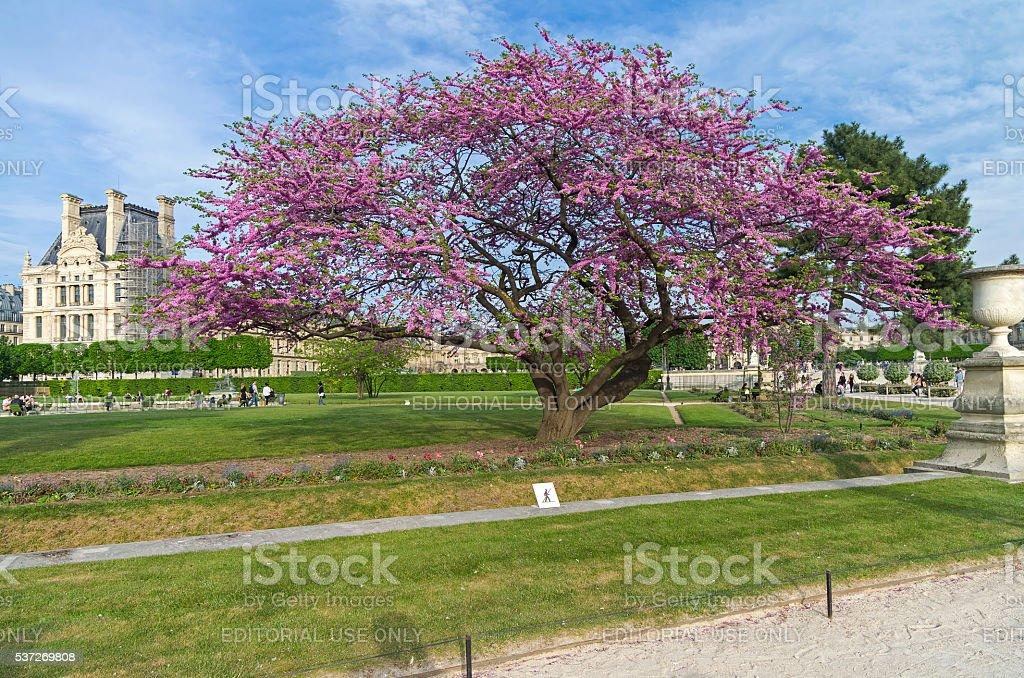 Blossoming Judas tree. stock photo