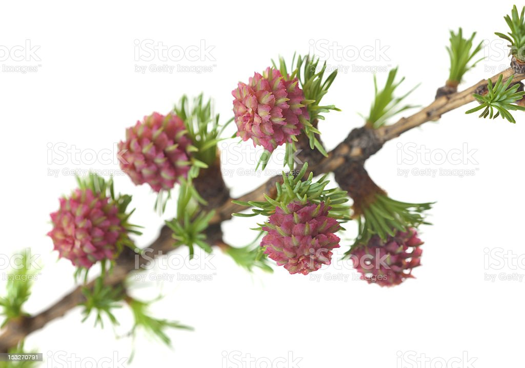 blossoming larch stock photo