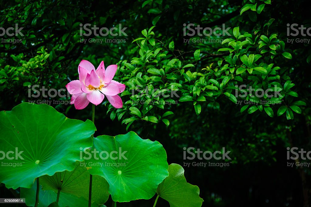 Blossoming lotus flower stock photo