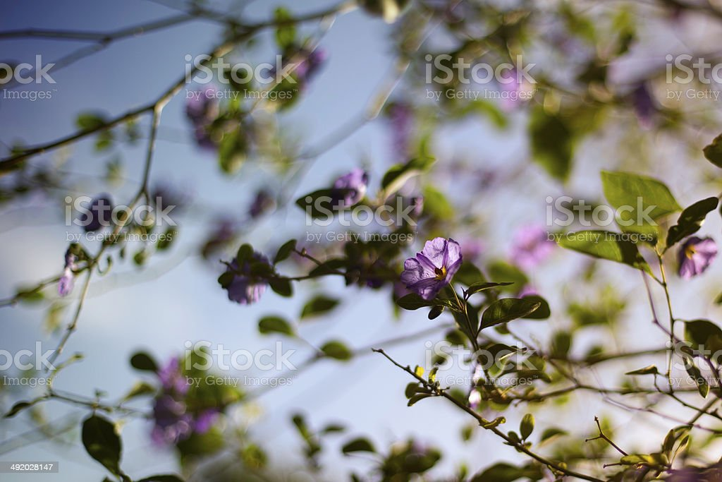 Blossoming Lycianthes royalty-free stock photo