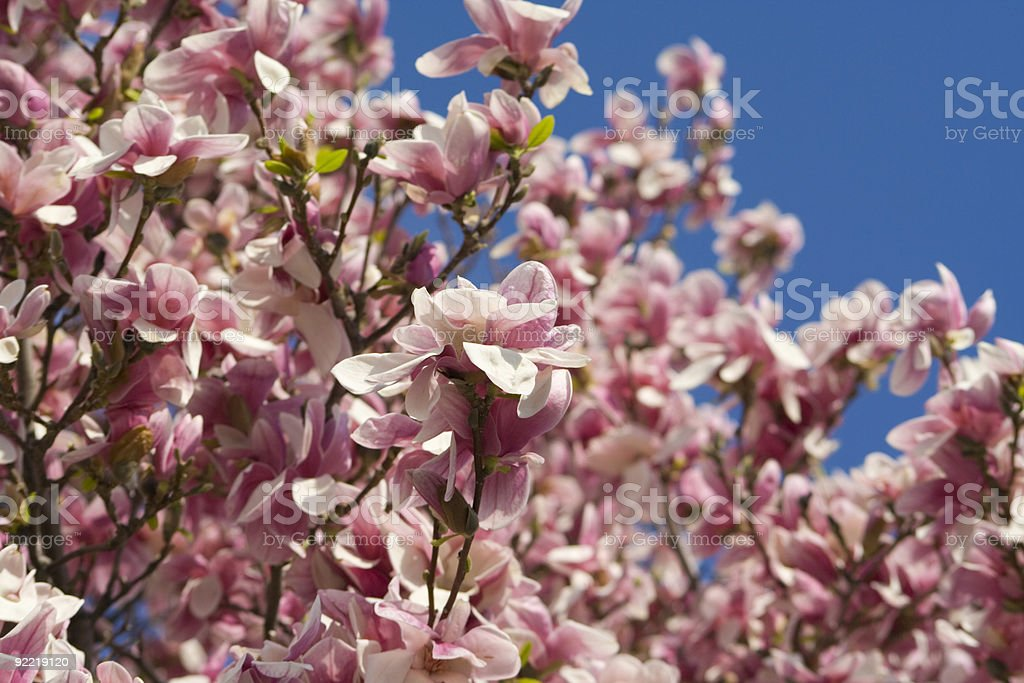 Blossoming Magnolia royalty-free stock photo