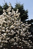 blossoming magnolia tree in a garden at springtime