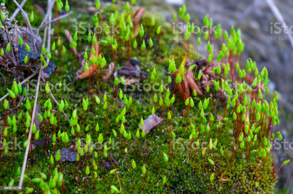 Blossoming moss. stock photo
