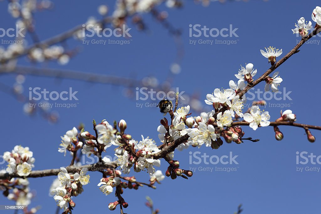 Blossoming of apricot tree flowers stock photo
