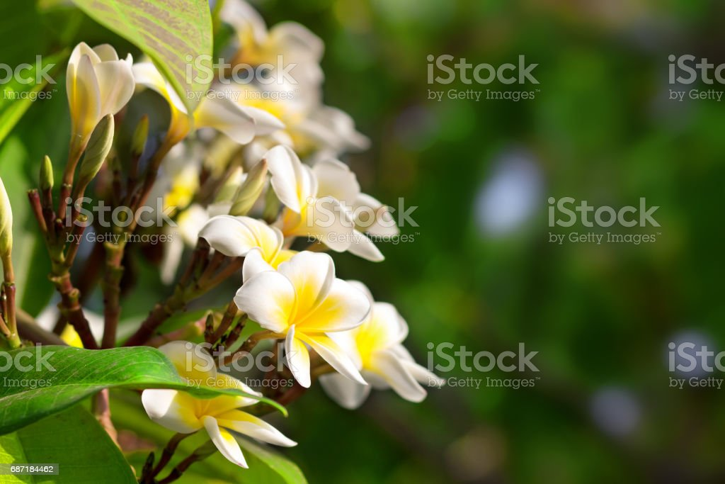 Blossoming of mango tree, Mango flower consists of 5 petals of white on the edges and yellow at the center of the helical shape stock photo