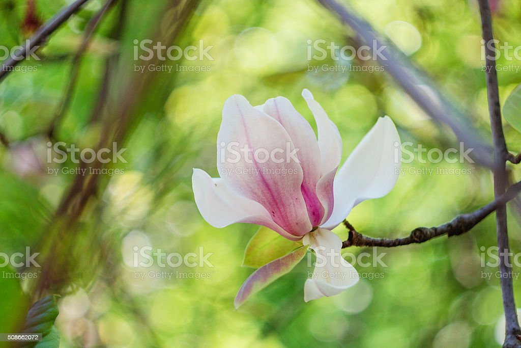 Blossoming of pink magnolia flowers in spring time stock photo