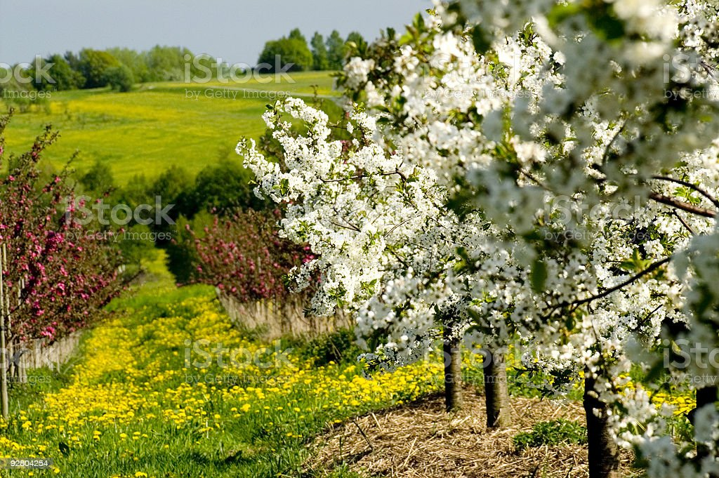 Blossoming of the apple trees royalty-free stock photo