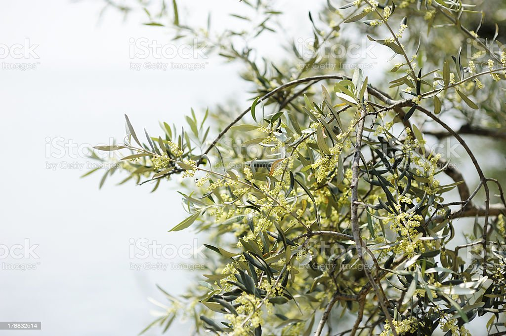 Blossoming olive tree royalty-free stock photo