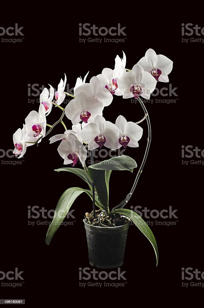 Blossoming orchid phalaenopsis. Isolated on black stock photo