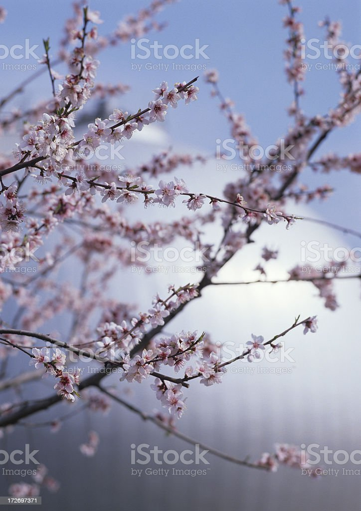blossoming peach tree royalty-free stock photo