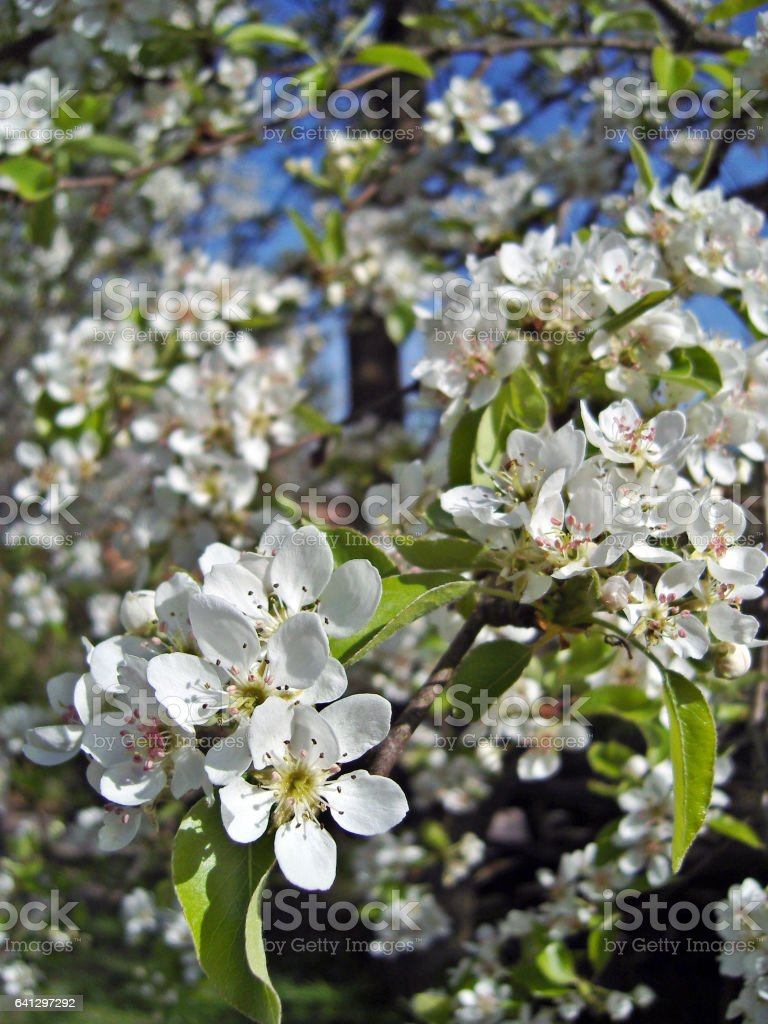 Blossoming pear tree. Orchard in springtime. stock photo