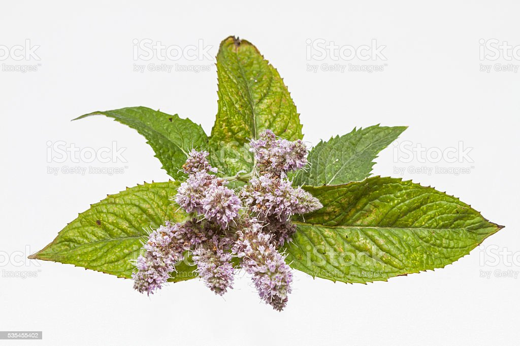 Blossoming Peppermint branch stock photo