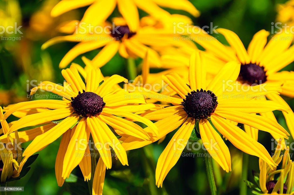 Blossoming  perennial coneflower from close stock photo