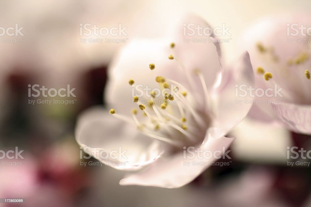 Blossoming royalty-free stock photo