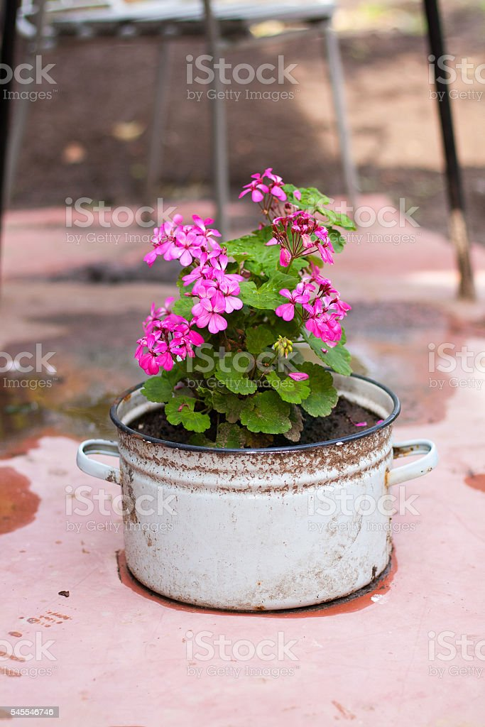 Blossoming pink geranium in the white pot stock photo