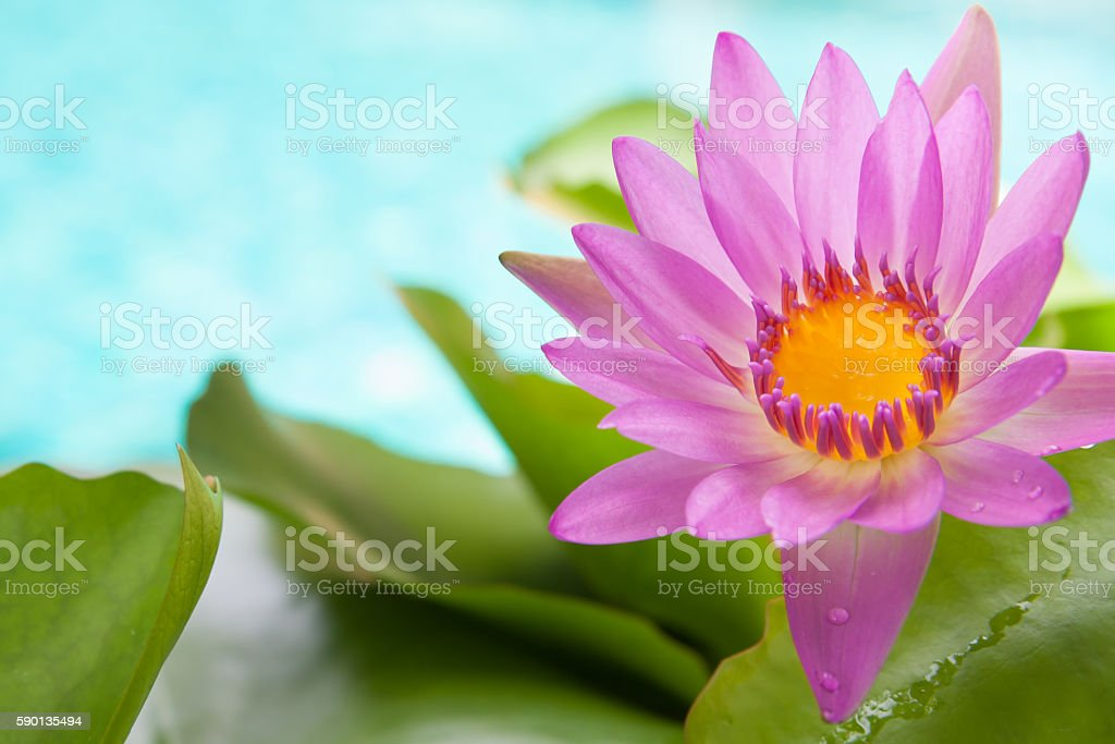Blossoming pink lotus flower on bright turquoise water background stock photo