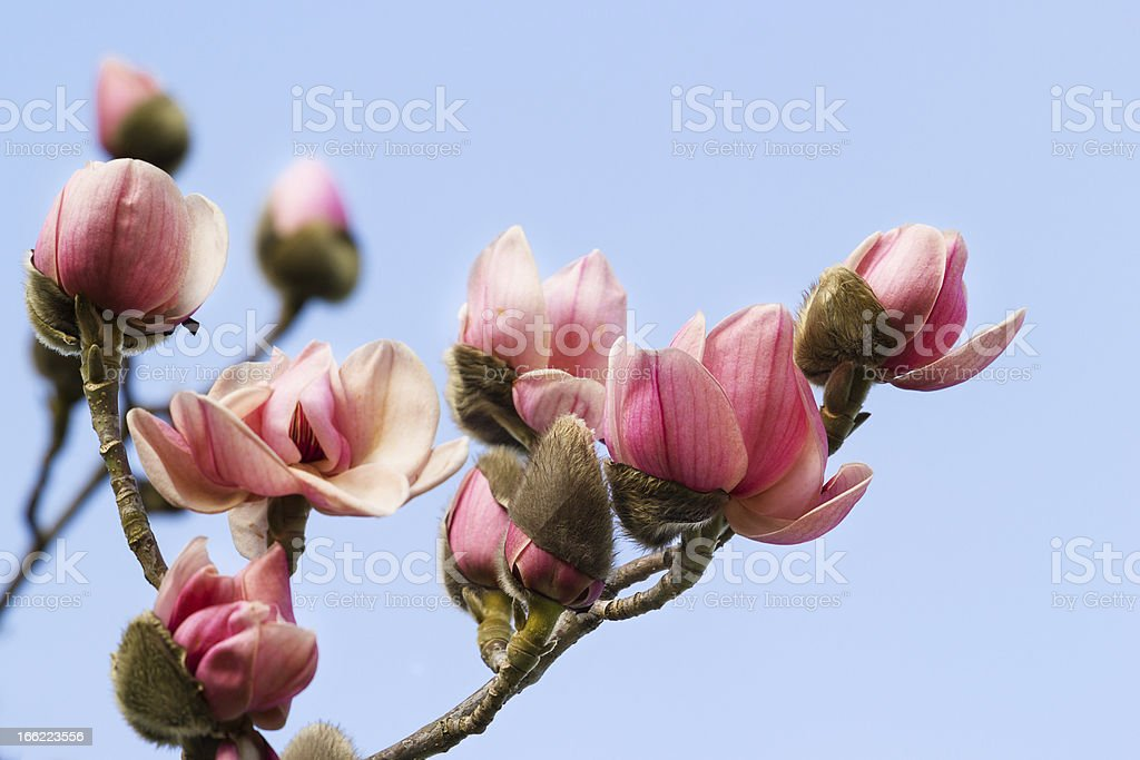 Blossoming pink magnolia against blue sky stock photo