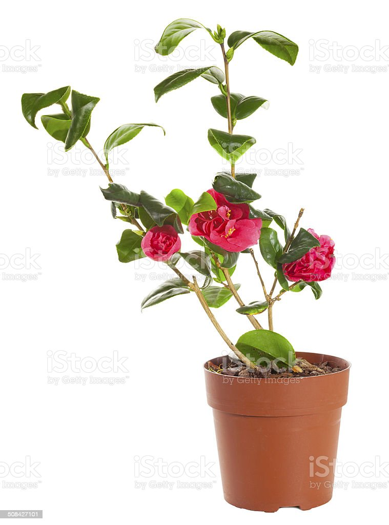 Blossoming plant of camellia in flowerpot isolated on white. stock photo