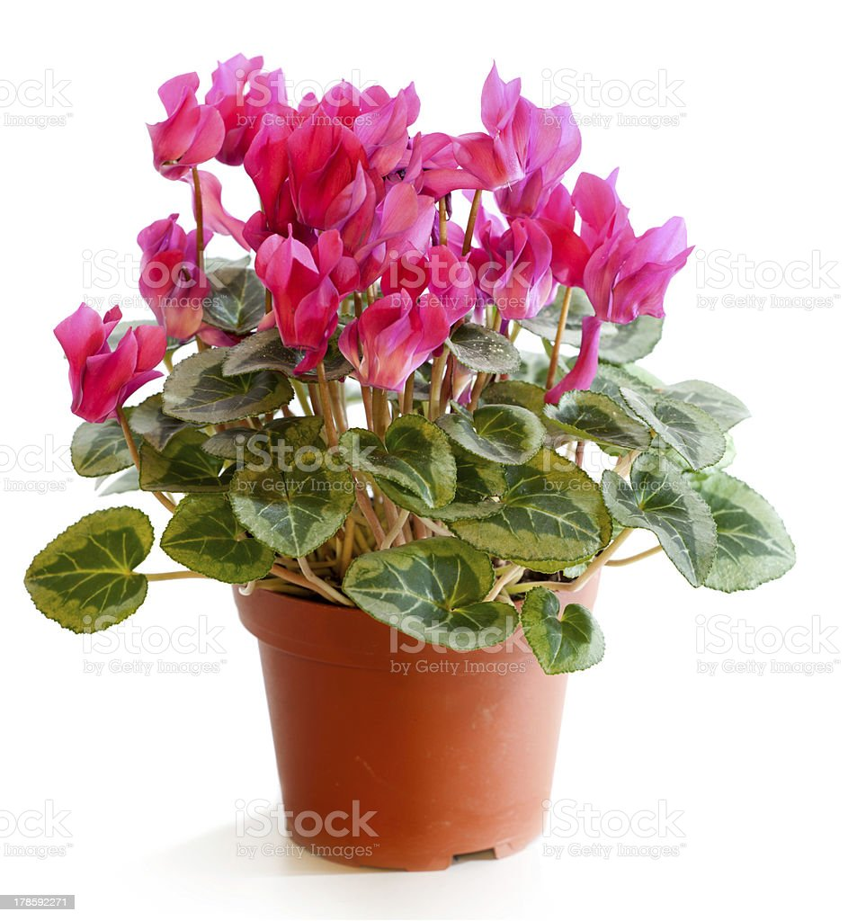 Blossoming plant of cyclamen in flowerpot isolated on white. stock photo