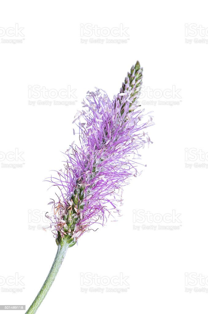 Blossoming Plantago flower isolated on white stock photo