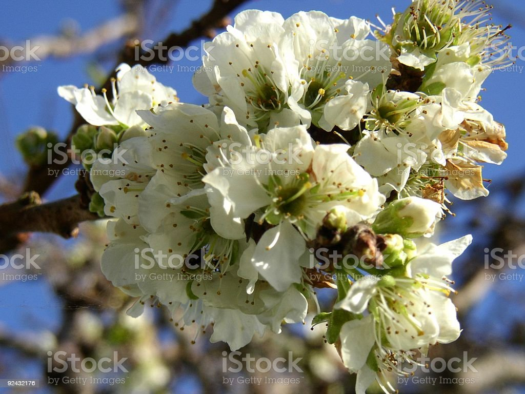blossoming plum #2 royalty-free stock photo