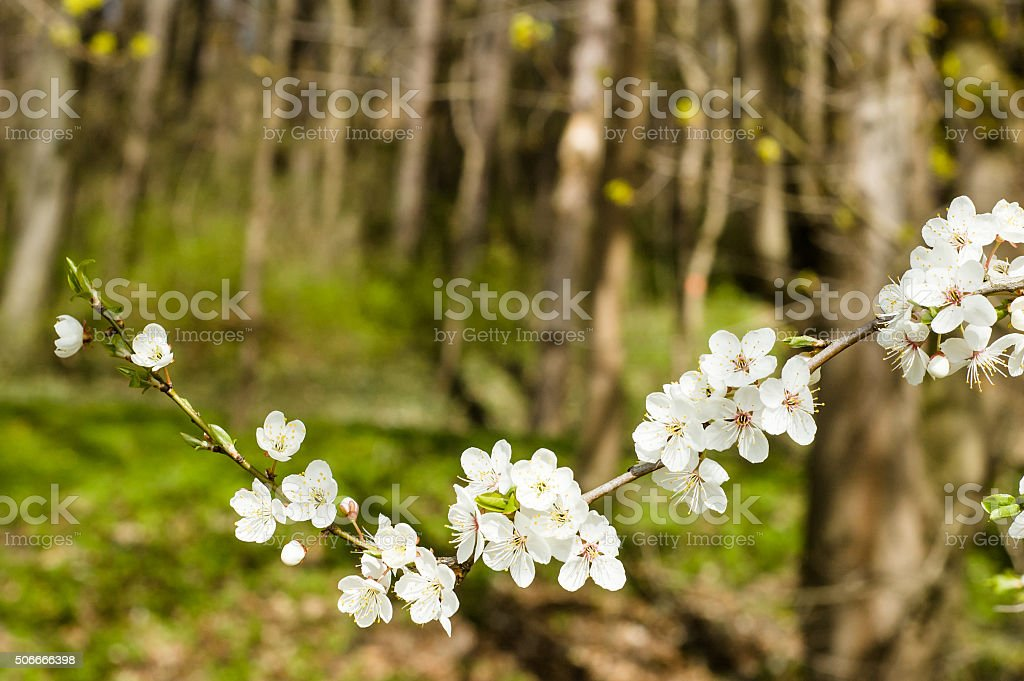 Blossoming plum tree branch in the forest. stock photo