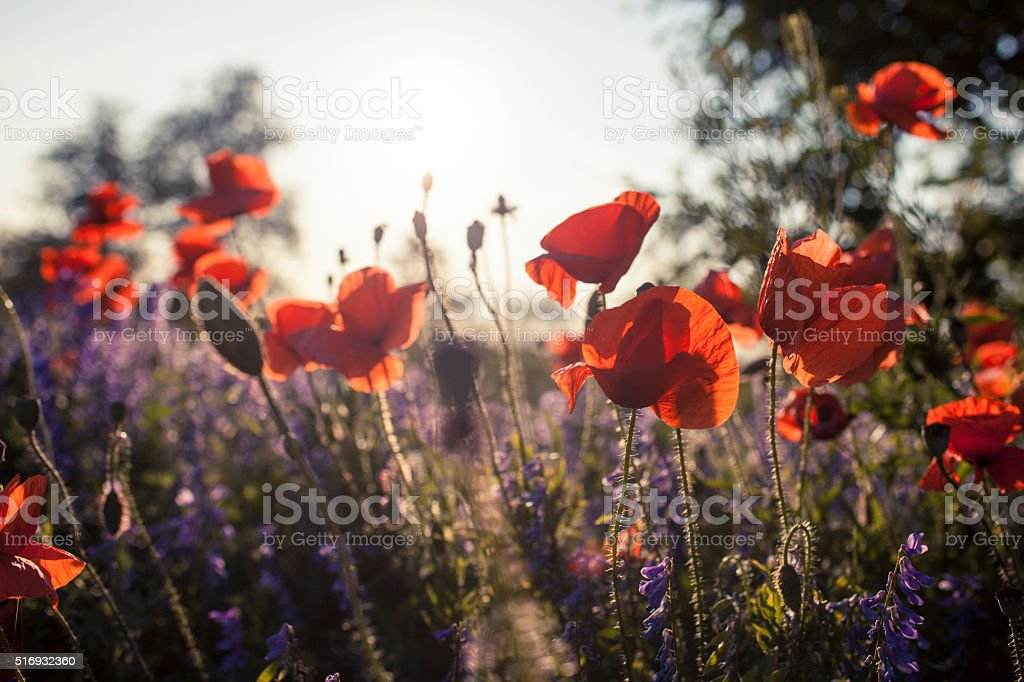 blossoming poppy stock photo