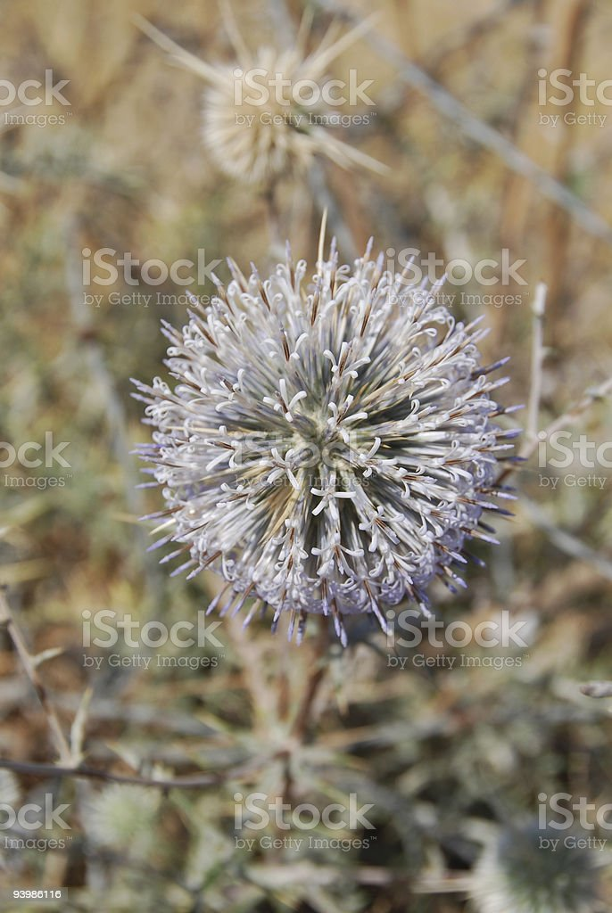 Blossoming prickle royalty-free stock photo
