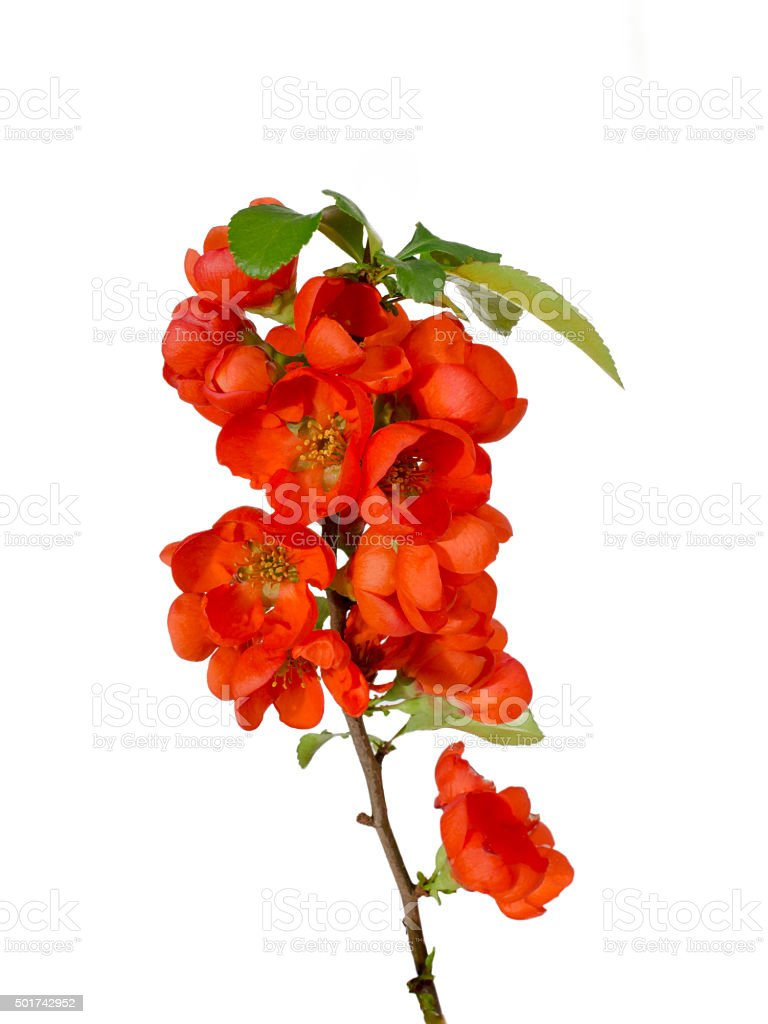 Blossoming quince branch stock photo