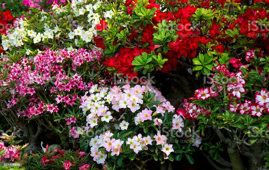 Blossoming red azalea in a flowerpot , flowers in pots , azalea colorful flowers pots, flowers shop. stock photo