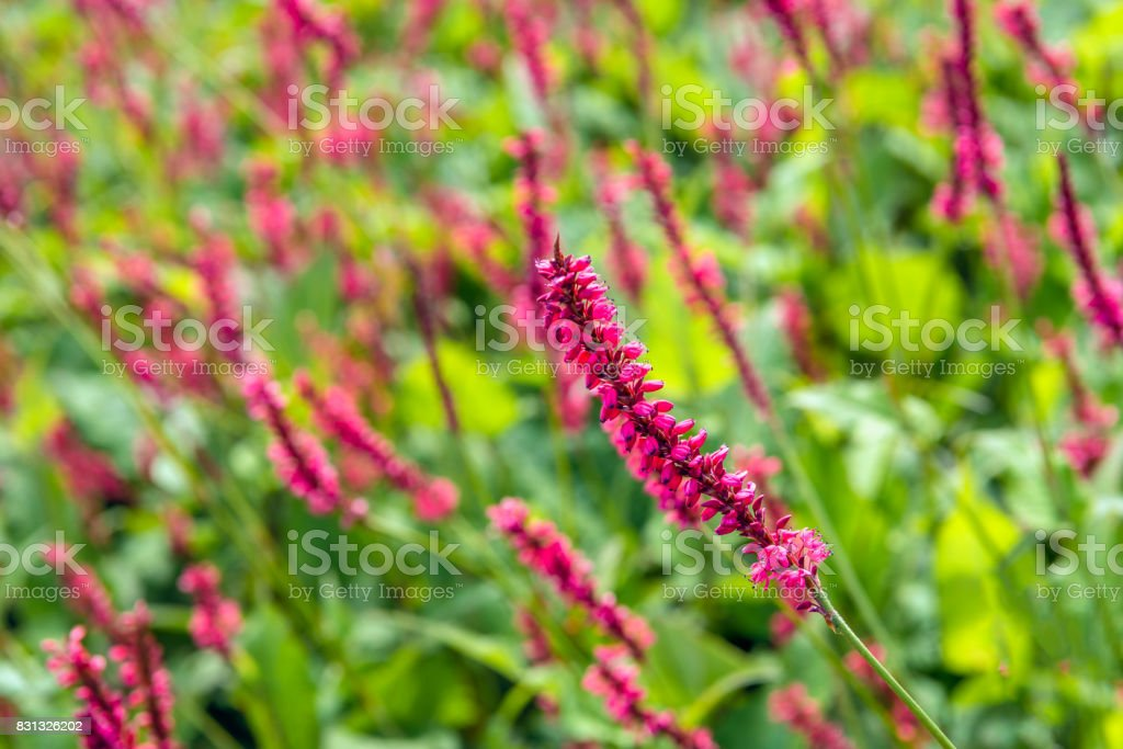 Blossoming Red Bistort flower spike from close stock photo