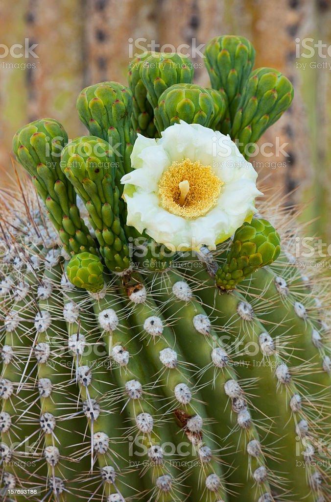 Blossoming Saguaro Catus stock photo