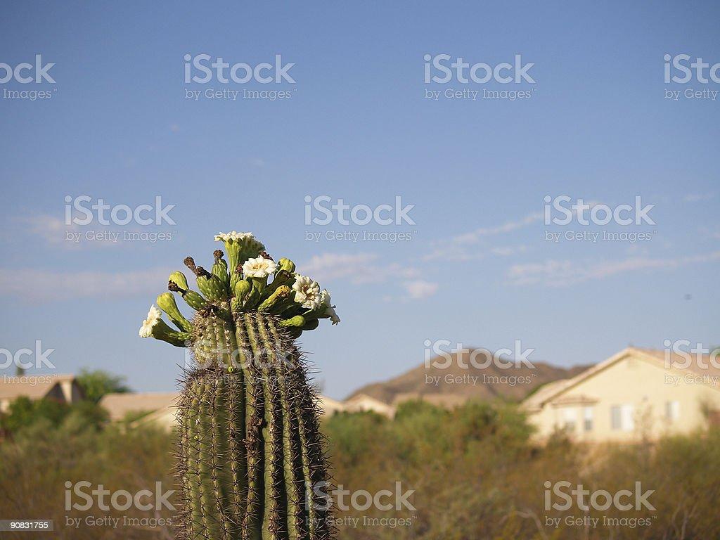 Blossoming saguaro, Tucson royalty-free stock photo
