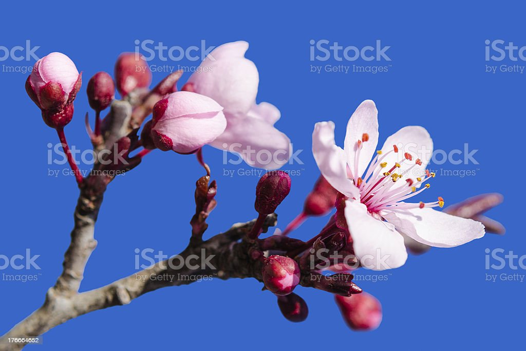 Blossoming spring flowers pink over blue royalty-free stock photo